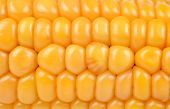 stock photo of corn-silk  - close up of ripe yellow corn cob - JPG