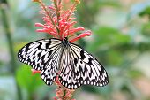 foto of nymph  - Large Tree Nymphs butterfly and red flower - JPG