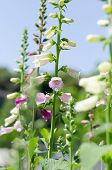 stock photo of digitalis  - Digitalis - JPG