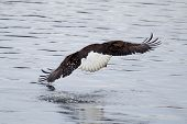 stock photo of fish-eagle  - American Bald Eagle flying to spot some fish.