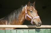 picture of thoroughbred  - Young thoroughbred horse in the stable door