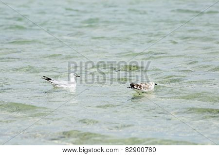 Seagulls floating in the water