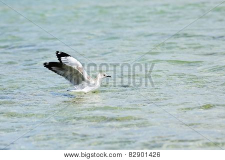Seagull floating in the water with spread wings
