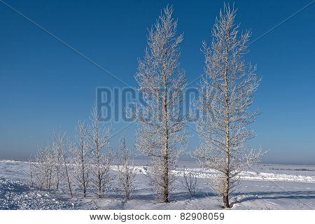 Winter Birch Snow Hoarfrost
