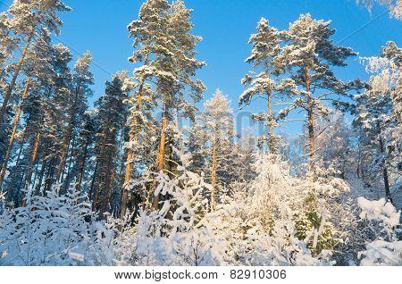 Frosty Glow Snowy Fir Trees
