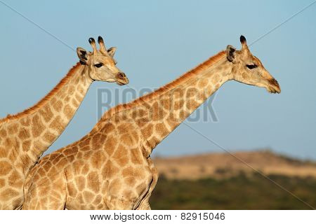 Close-up of two giraffes (Giraffa camelopardalis) against a blue sky, South Africa