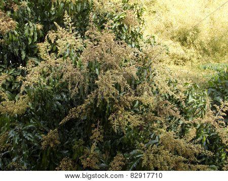 Mango Flower On Tree
