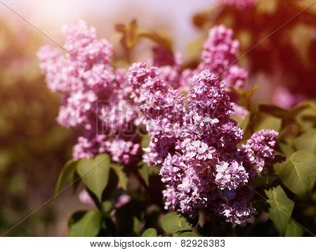 Retro Lilac Flowers