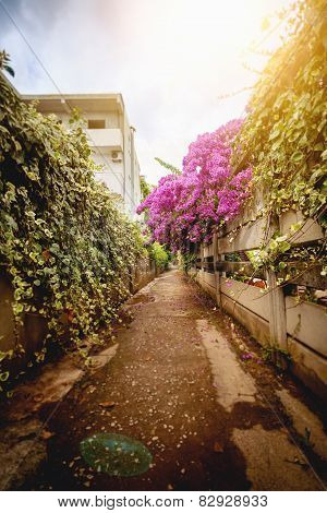 Road At Old City Grown With Flowers Of Bougainvillea
