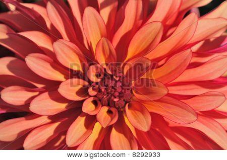 Closeup of multi-petal dahlia