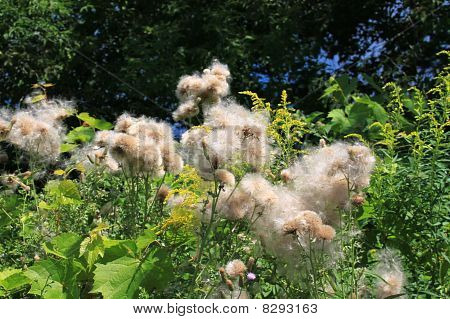 Thistledown In Green Field