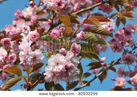 Lot Of Young Pink Cherry Blossoms