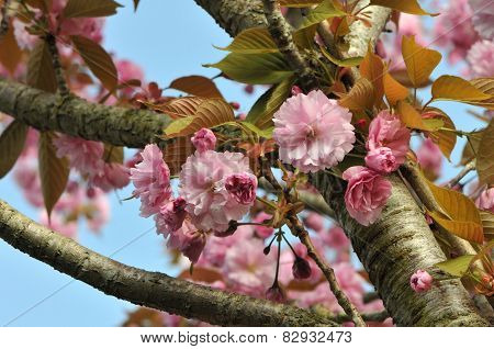 Pink Cherry Blossom Along Branchs