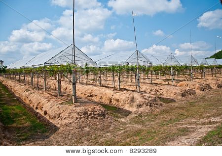 The Grape Plantations