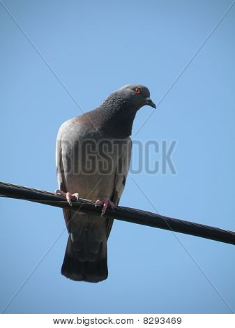Depths Of A Lonely Dove In On A Wire