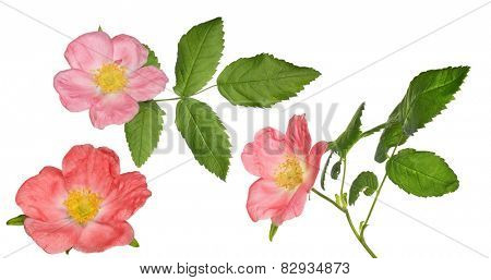 three brier flowers isolated on white background