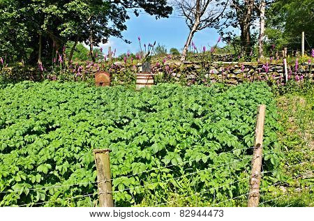 Irish Potato Garden