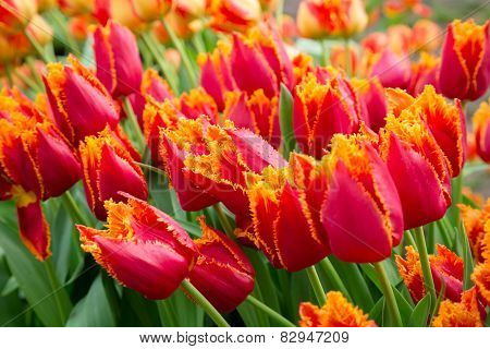 red yellow tulips with water drops