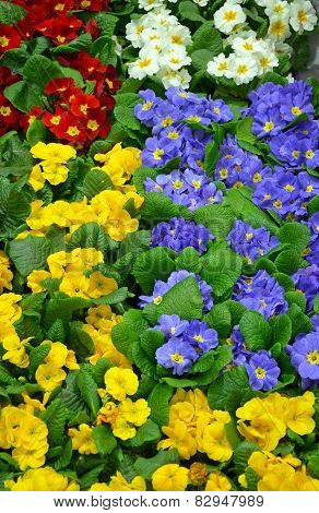 Colorful Winter Primroses