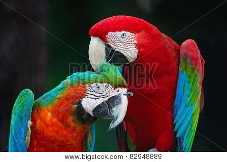 Greenwinged Macaw And Harlequin Macaw