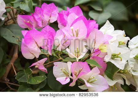Pink Bougainvillea And Leave