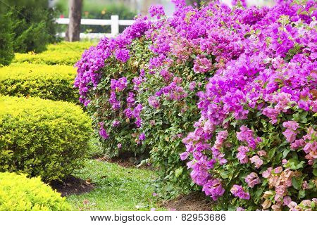 Bougainvillea Flowers Pink On Tree.