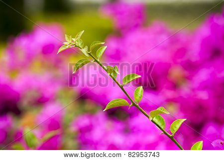 Branches Of Bougainvillea