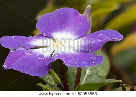 Violet Cape Periwinkle, Vinca And Drop
