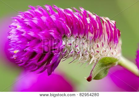 Globe Amaranth -  Bachelor Button