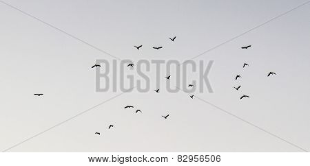 Flight of birds with diversified wing movement