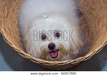 Shih Tzu Puppy Breed Tiny Dog In Basket