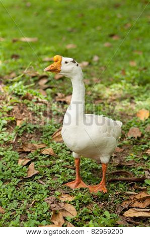White Geese On Natural Green Background