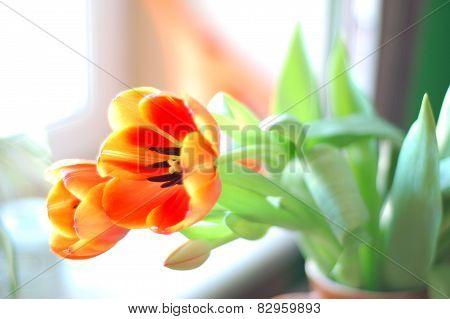 Tulip flower for card or banner