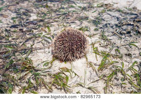 Sea Hedgehog Lays On A Sand