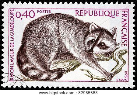 Guadeloupe Raccoon