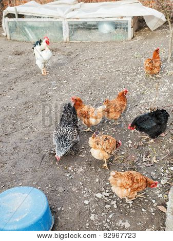 Chicken Flock On Poultry Yard