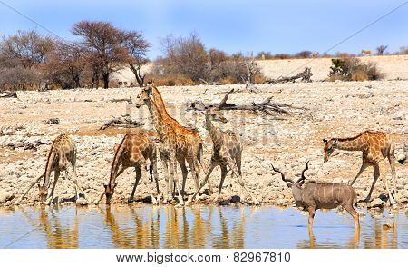 Giraffe & Kudu at a waterhole