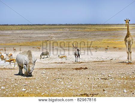 Giraffe, Black Rhino Oryx zebra in Etosha