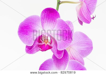 Purple Moth Orchid Close Up