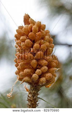 Pinus roxburghii male cone