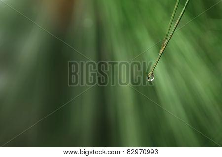 Raindrop on pine needle leaf