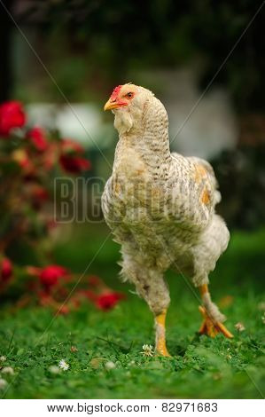 Mottled Chicken (Cockerel) Walking On Green Lawn