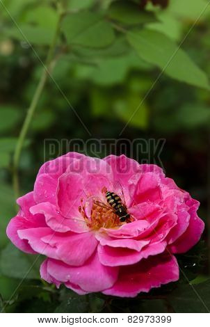 Bee Collecting nectar from rose