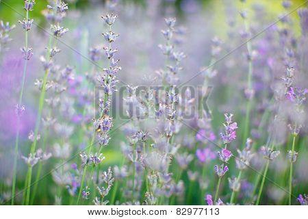 Lavender. The Nature