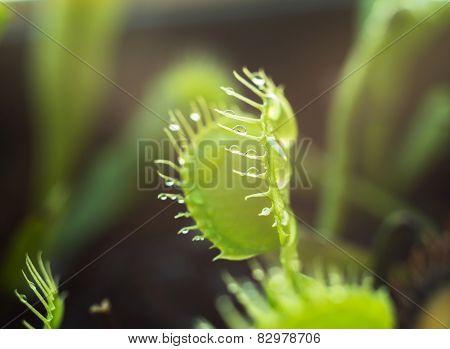 Carnivorous Dionea