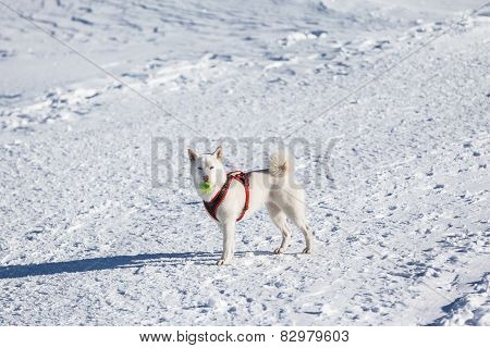 White Dog Playing Tenis Ball In Snow
