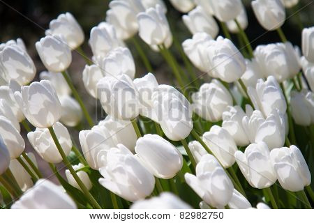 Pure White Tulips Growing  In Garden