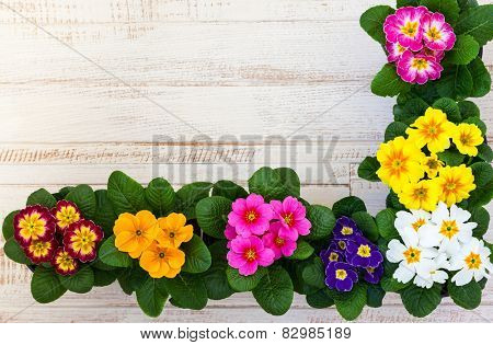 Fresh colorful primula flowers in pots on wooden background. Top view
