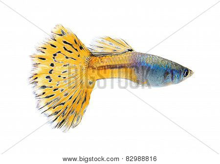guppy fish isolate on white background