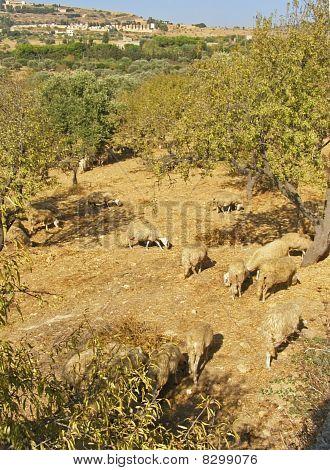 Countyside with sheep flock